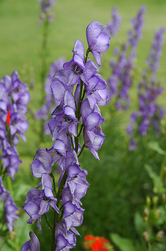 Common Monkshood Aconitum Napellus In Ringoes New Jersey NJ - Where does wolfsbane grow in the us map
