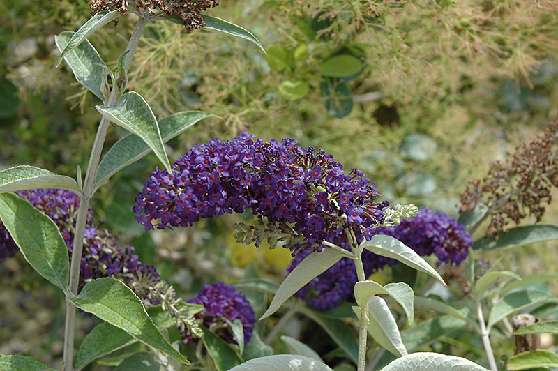 Adonis Blue™ Butterfly Bush (Buddleia davidii \'Adokeep\') in Ringoes ...