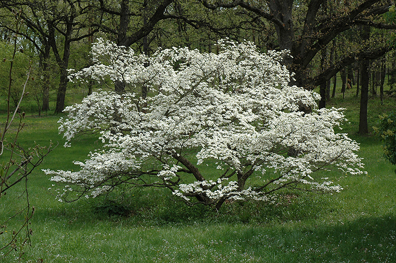 Cherokee princess flowering dogwood cornus florida cherokee cherokee princess flowering dogwood cornus florida cherokee princess at rutgers landscape mightylinksfo