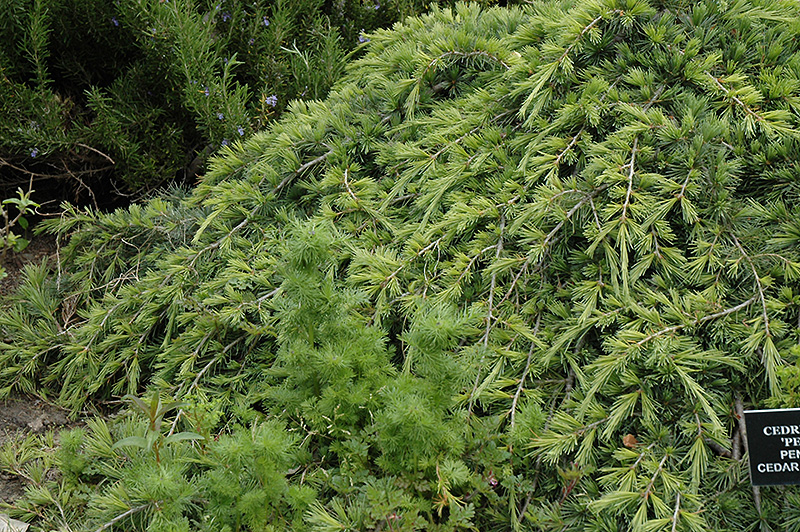 Weeping Cedar Of Lebanon Cedrus Libani Pendula At Rutgers Landscape Nursery