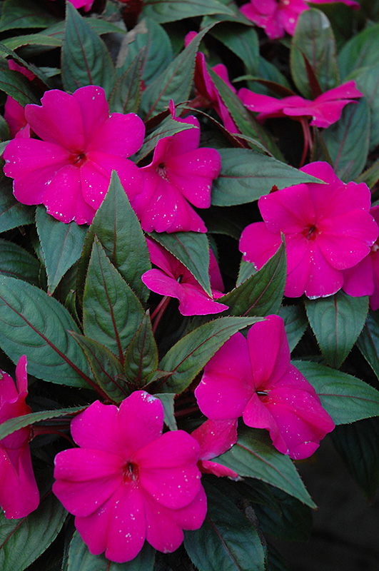 Magnum blue new guinea impatiens impatiens 39 magnum blue for New guinea impatiens