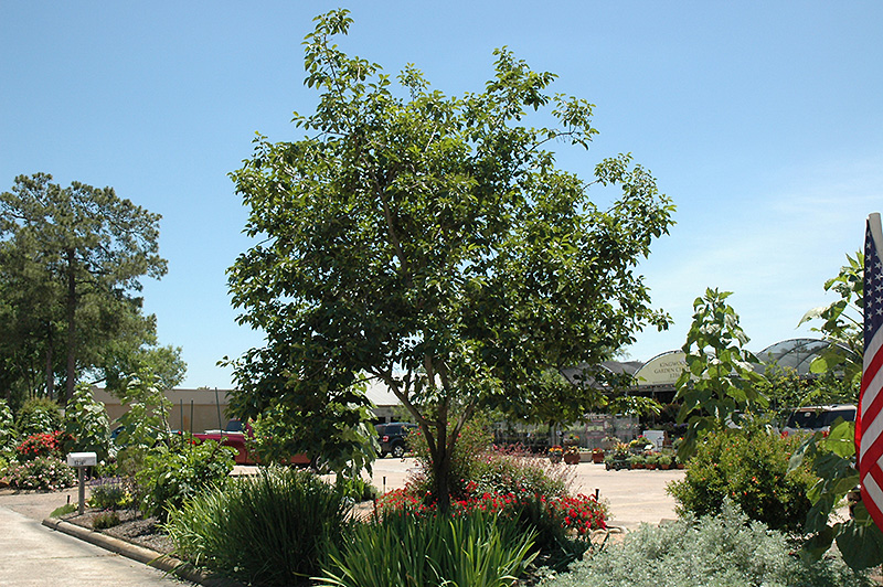 Common Persimmon Diospyros Virginiana In Ringoes