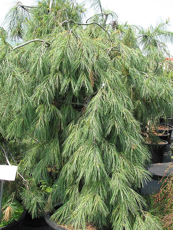 Weeping White Pine Pinus Strobus Pendula In Ringoes Flemington