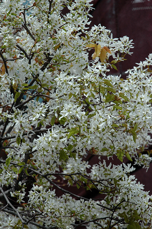 Snowcloud serviceberry amelanchier laevis snowcloud in ringoes snowcloud serviceberry amelanchier laevis snowcloud at rutgers landscape nursery thecheapjerseys Image collections