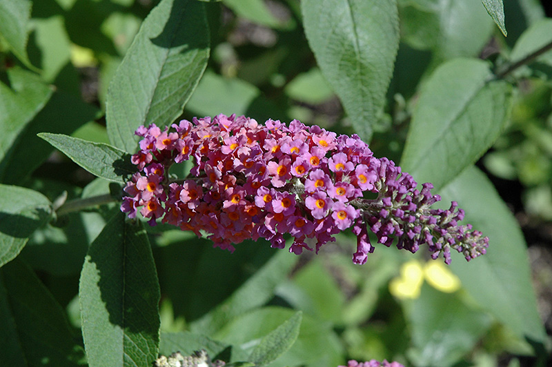 Bicolor Butterfly Bush (Buddleia x weyeriana \'Bicolor\') in Ringoes ...