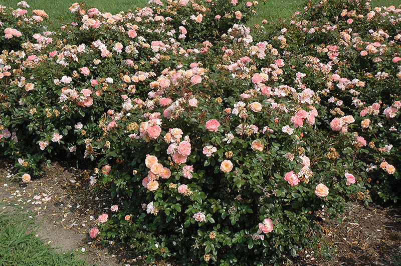 Apricot Drift 174 Rose Rosa Meimirrote In Ringoes