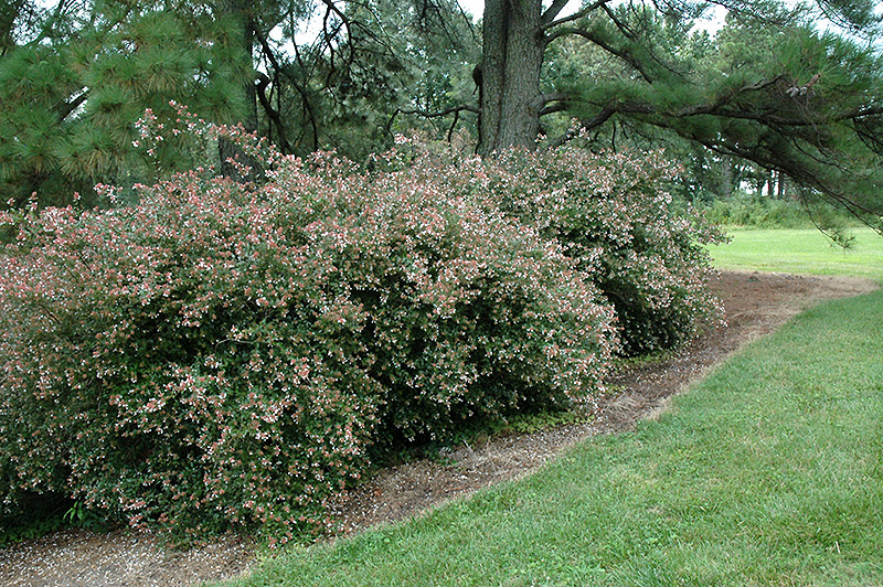 glossy abelia abelia x grandiflora in ringoes flemington new hope doylestown trenton new. Black Bedroom Furniture Sets. Home Design Ideas