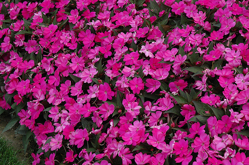 Sunpatiens compact lilac new guinea impatiens impatiens for New guinea impatiens