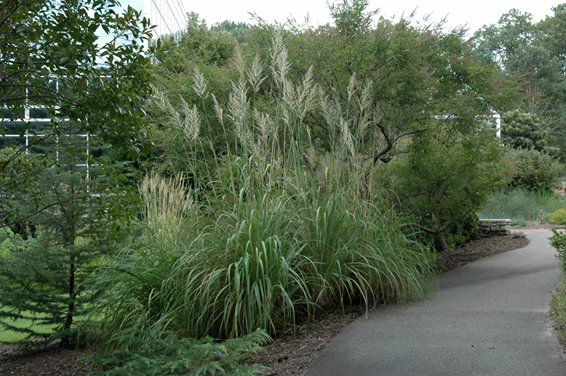 Hardy pampas grass erianthus ravennae in ringoes for Hardy decorative grasses