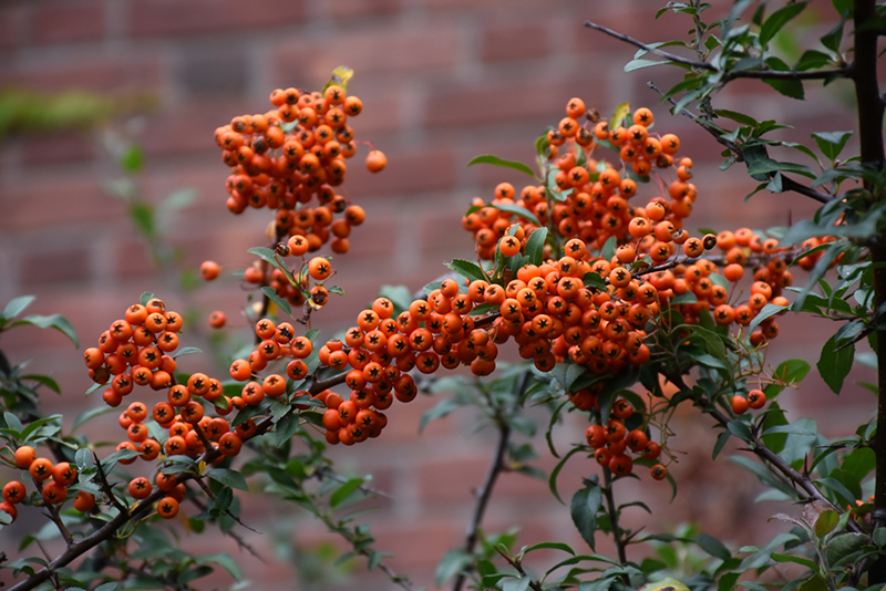 Scarlet Firethorn Pyracantha Coccinea At Rutgers Landscape Nursery Fruit