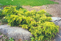 Gold Coast Juniper (Juniperus x media 'Gold Coast') at Rutgers Landscape & Nursery