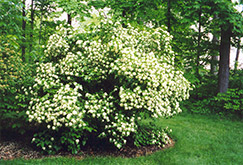 Arrowwood Viburnum (Viburnum dentatum) at Rutgers Landscape & Nursery