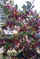 Red Chokeberry (Aronia arbutifolia) at Rutgers Landscape & Nursery