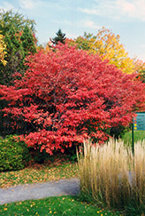 Shadblow Serviceberry (Amelanchier canadensis) at Rutgers Landscape & Nursery