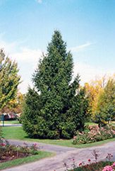 Norway Spruce Picea Abies In Ringoes Flemington New Hope