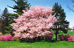 Accolade Flowering Cherry (Prunus 'Accolade') at Rutgers Landscape & Nursery