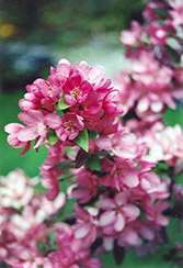 Indian Magic Flowering Crab (Malus 'Indian Magic') at Rutgers Landscape & Nursery