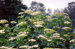 Autumn Jazz Viburnum (Viburnum dentatum 'Ralph Senior') at Rutgers Landscape & Nursery
