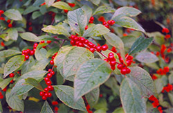 Jolly Red Winterberry (Ilex verticillata 'Jolly Red') at Rutgers Landscape & Nursery