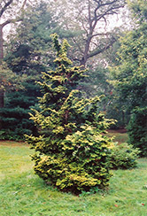 Slender Golden Falsecypress (Chamaecyparis obtusa 'Gracilis Aurea') at Rutgers Landscape & Nursery