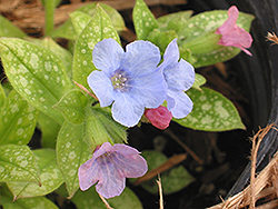 Baby Blue Lungwort (Pulmonaria 'Baby Blue') at Rutgers Landscape & Nursery
