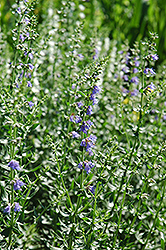 Hyssop (Hyssopus officinalis) at Rutgers Landscape & Nursery