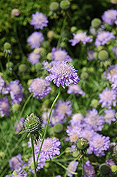 Blue Mist Pincushion Flower (Scabiosa 'Blue Mist') at Rutgers Landscape & Nursery