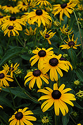 Indian Summer Coneflower (Rudbeckia hirta 'Indian Summer') at Rutgers Landscape & Nursery