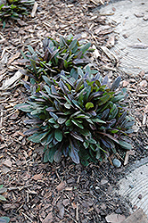 Chocolate Chip Bugleweed (Ajuga reptans 'Chocolate Chip') at Rutgers Landscape & Nursery