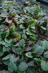 Bronze Beauty Bugleweed (Ajuga reptans 'Bronze Beauty') at Rutgers Landscape & Nursery