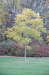 Kentucky Coffeetree (Gymnocladus dioicus) at Rutgers Landscape & Nursery