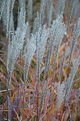 Flame Grass (Miscanthus sinensis 'Purpurascens') at Rutgers Landscape & Nursery