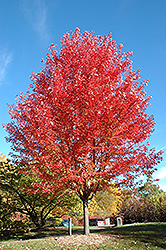Autumn Blaze Maple (Acer x freemanii 'Jeffersred') at Rutgers Landscape & Nursery