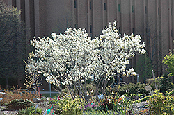 Autumn Brilliance Serviceberry (Amelanchier x grandiflora 'Autumn Brilliance') at Rutgers Landscape & Nursery