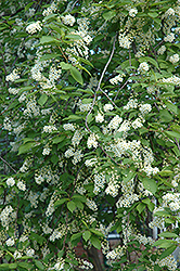 Schubert Chokecherry (Prunus virginiana 'Schubert') at Rutgers Landscape & Nursery