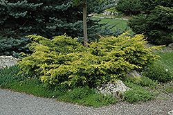 Old Gold Juniper (Juniperus x media 'Old Gold') at Rutgers Landscape & Nursery