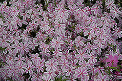 Candy Stripe Moss Phlox (Phlox subulata 'Candy Stripe') at Rutgers Landscape & Nursery