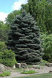 Fat Albert Blue Spruce (Picea pungens 'Fat Albert') at Rutgers Landscape & Nursery