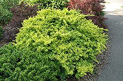Golden Japanese Barberry (Berberis thunbergii 'Aurea') at Rutgers Landscape & Nursery
