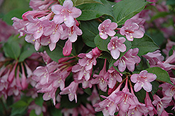 Pink Princess Weigela (Weigela florida 'Pink Princess') at Rutgers Landscape & Nursery