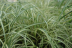Evergold Variegated Japanese Sedge (Carex oshimensis 'Evergold') at Rutgers Landscape & Nursery