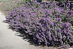 Walker's Low Catmint (Nepeta x faassenii 'Walker's Low') at Rutgers Landscape & Nursery