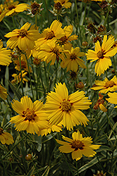 Tequila Sunrise Tickseed (Coreopsis 'Tequila Sunrise') at Rutgers Landscape & Nursery