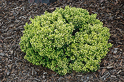 Golden Nugget Japanese Barberry (Berberis thunbergii 'Golden Nugget') at Rutgers Landscape & Nursery