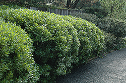 Northern Bayberry (Myrica pensylvanica) at Rutgers Landscape & Nursery