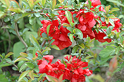 Texas Scarlet Flowering Quince (Chaenomeles speciosa 'Texas Scarlet') at Rutgers Landscape & Nursery