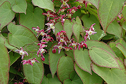 Bishop's Hat (Epimedium x rubrum) at Rutgers Landscape & Nursery