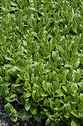 Solomon's Seal (Polygonatum humile) at Rutgers Landscape & Nursery