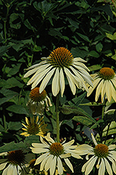 Big Sky Sunrise Coneflower (Echinacea 'Big Sky Sunrise') at Rutgers Landscape & Nursery