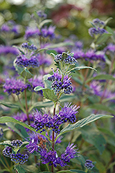 Dark Knight Caryopteris (Caryopteris x clandonensis 'Dark Knight') at Rutgers Landscape & Nursery